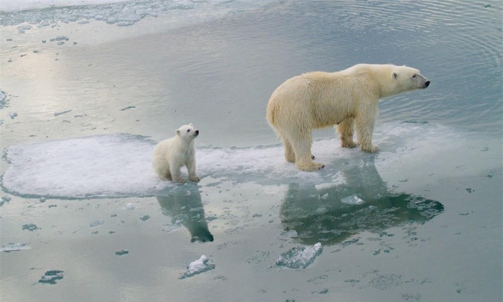 Gấu Bắc cực sẽ biến mất vào năm 2100? - 3