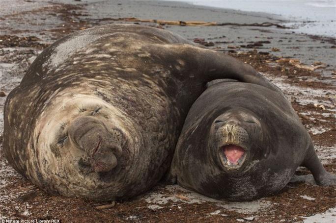 Khoảnh khắc âu yếm: Hai chú hải cẩu voi đồ sộ này lại giống như đang vòng tay ôm tình tứ tại quần đảo Falkland.