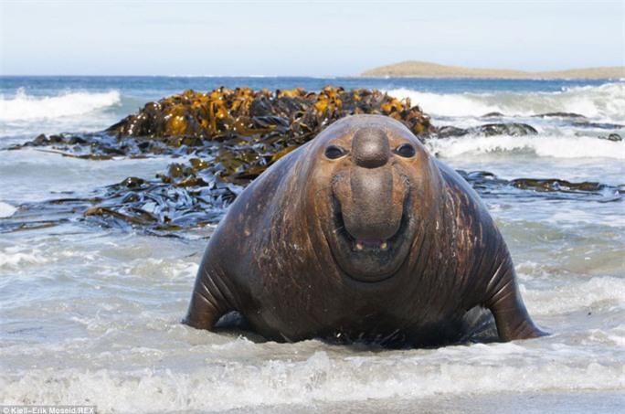Nụ cười hài lòng: Nhiếp ảnh gia người Na Uy có tên Kjell-Erik Moseid đã ghi lại được nụ cười vui tươi và dí dỏm như một chú hề của hải cẩu voi.