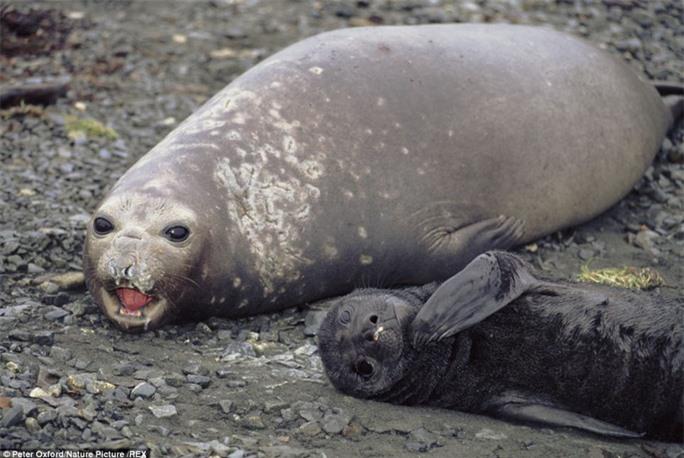 Tình yêu của mẹ: Bà mẹ hải cẩu này đang ra sức bảo vệ đứa con non nớt của mình tại South Georgia (Anh). Hải cẩu dành hết 10 tháng trong năm để vùng vẫy với biển khơi, và chúng chỉ quay lại đất liền để sinh sản và chăm sóc con non.