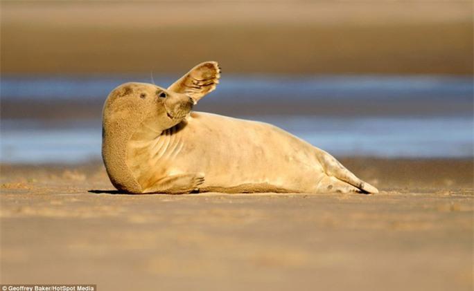 Đã đến lúc chia tay: Cái vẫy tay thân thiện nhưng đầy vẻ quyến luyến của chú hải cẩu đáng yêu này như một lời tạm biệt khép lại nụ cười của biển khơi.