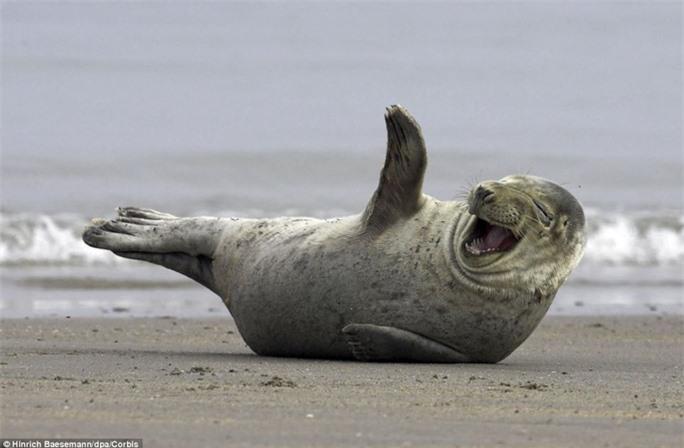 """Vẫy chào thân thiện: Còn chú hải cẩu này đang """"tạo dáng"""" như vẫy chào với khuôn mặt tươi vui, hóm hỉnh tại bờ biển của đảo Helgoland (Đức)"""