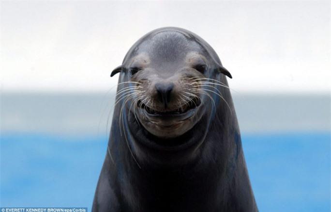 """Nụ cười """"toả nắng"""": Chú hải cẩu có tên Mandi này đến từ thành phố Kamogawa, tỉnh Chiba (Nhật Bản). Chú ta đang cười rất """"duyên"""" và rạng rỡ."""