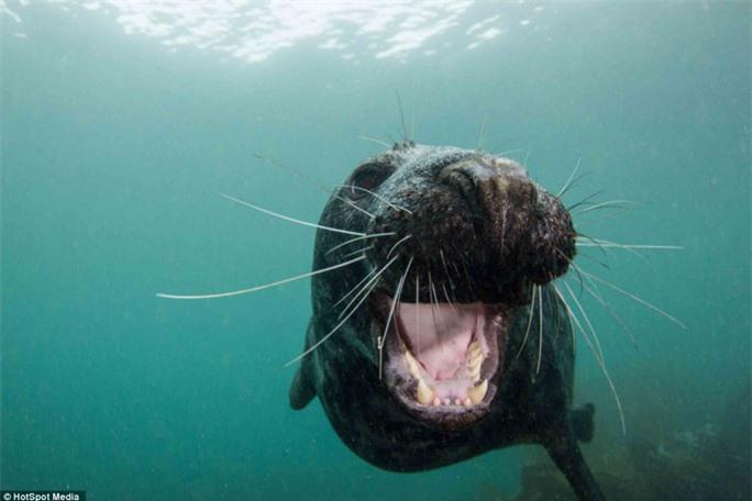 """Nụ cười cận cảnh: Chú hải cẩu này có vẻ rất """"khoái"""" Pash Baker khi nhiếp ảnh gia này đang tác nghiệp dưới nước. Nụ cười thân thiện là bằng chứng cho sự dễ mến, hiền lành và đáng yêu của loài vật này."""