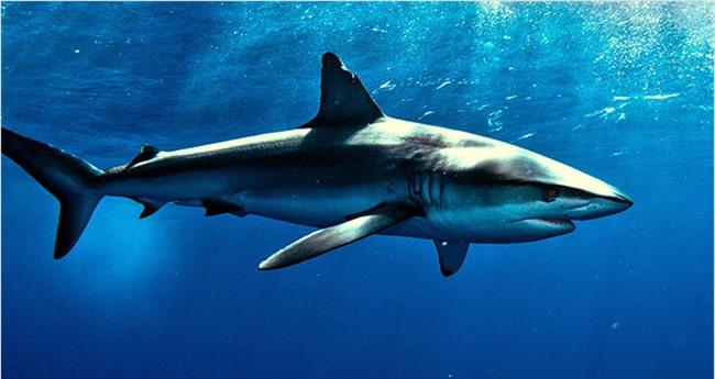 Cá mập tuy là nguồn dinh dưỡng vô hạn nhưng lại nguy hiểm vì chúng không có thận lọc chất độc. Ảnh minh họa