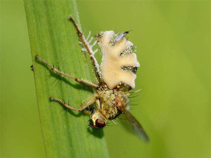 """Loài nấm biến ruồi thành xác sống, sử dụng """"mỹ nhân kế"""" để lây bệnh qua đường tình dục - Ảnh 1."""
