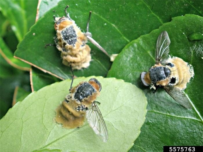 """Loài nấm biến ruồi thành xác sống, sử dụng """"mỹ nhân kế"""" để lây bệnh qua đường tình dục - Ảnh 2."""