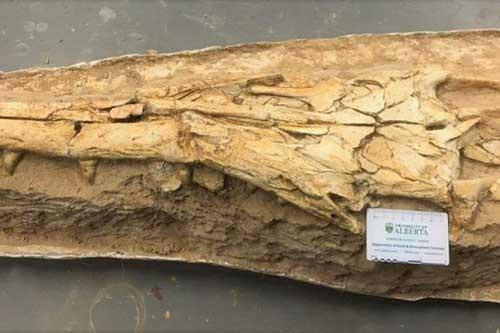 Hóa thạch của loài mosasaur.