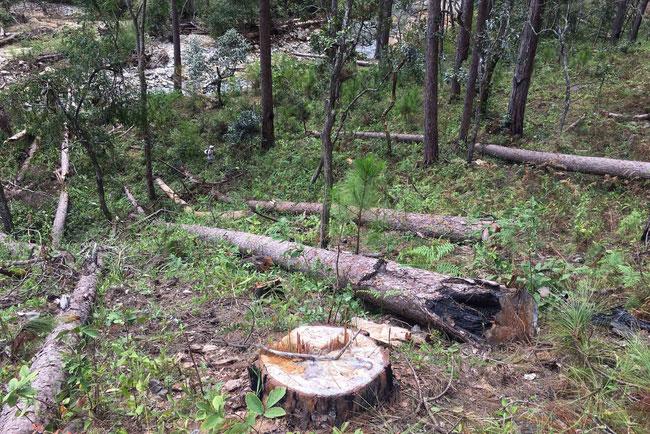 Hiện trường vụ phá rừng phòng hộ tự nhiên tại huyện Lạc Dương, Lâm Đồng (Ảnh: TTXVN)