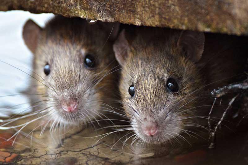 Đặt thứ này trong nhà, đàn chuột 'sợ chết khiếp' mà không ảnh hưởng tới sức khỏe