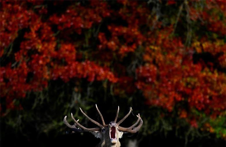 Một con hươu đực sủa trước những tán lá mùa thu trong mùa sinh sản hoặc hằn lún hàng năm, Richmond Park, London, Anh, 11/10/2020.
