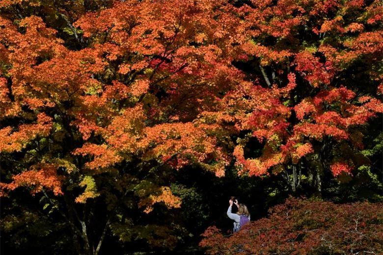 Một du khách ngắm nhìn những tán lá màu sắc mùa thu tại Vườn ươm Westonbirt, Tetbury, Anh Quốc, ngày 29/9.