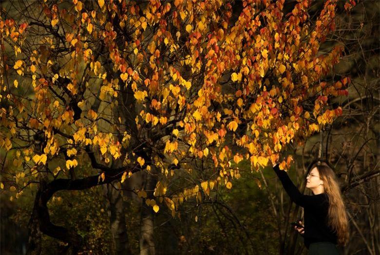 Một người phụ nữ chạm vào những chiếc lá vàng trên cây trong Vườn Nhật Bản trong thời tiết nắng ấm mùa thu ở Moscow, Nga ngày 14/10.