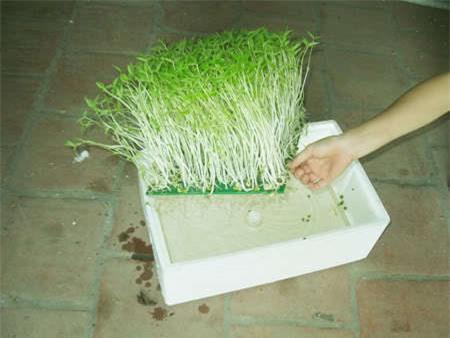 Cần chú tới nước và ánh sáng trong kỹ thuật trồng cây, rau mầm thủy canh