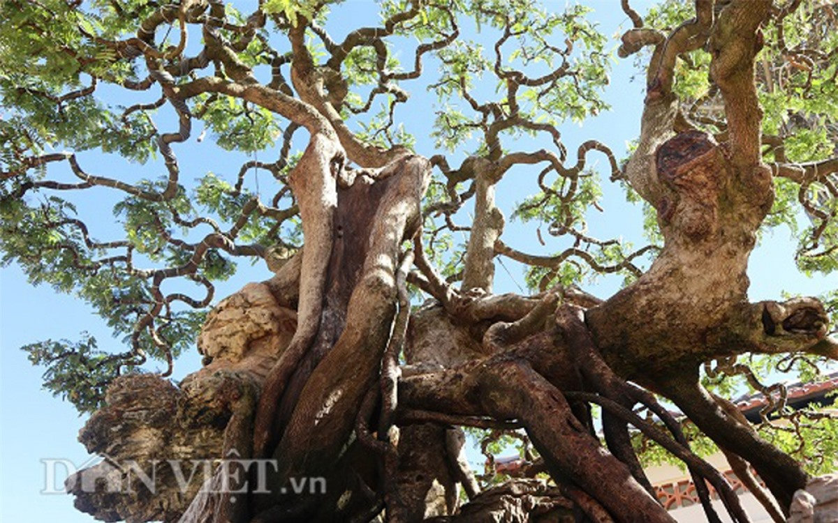 Trên thân cây có nhiều vết sẹo lớn nhỏ đã khiến cây me mang vẻ cổ kính, thăng trầm qua thời gian.