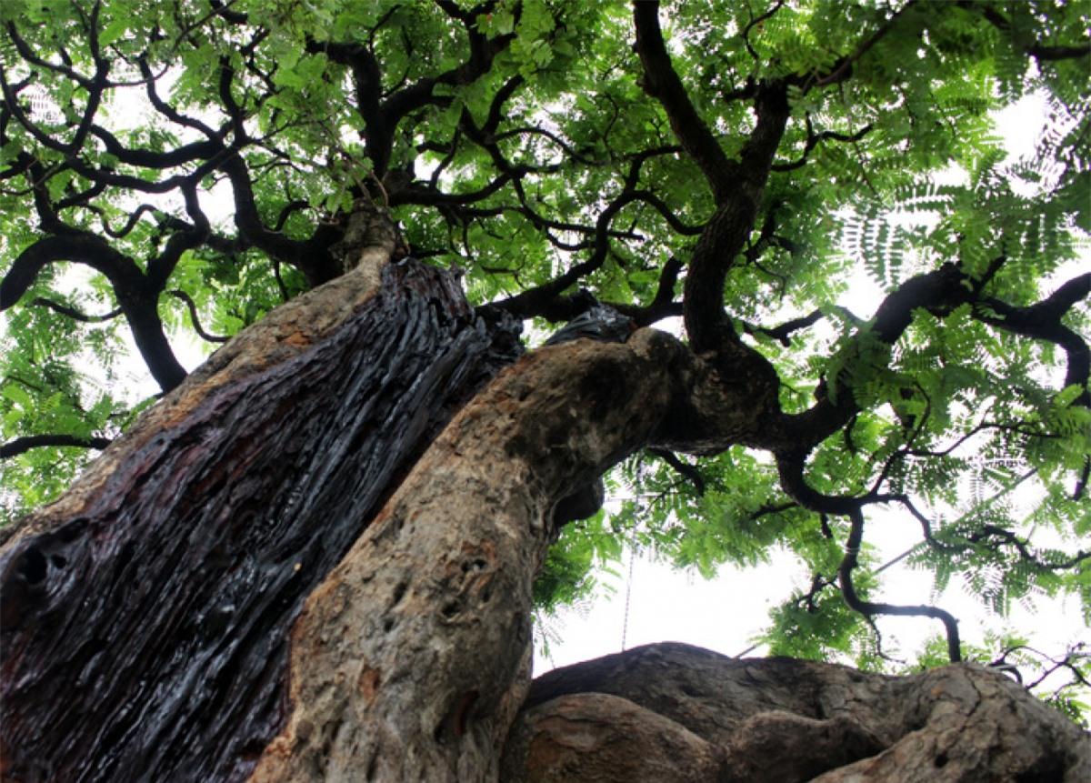 Ở quận Thủ Đức, TP HCM cũng xuất hiện một cây me trăm tuổi với hình dáng uyển chuyển, khúc khuỷu đẹp mắt, được trả giá 3 tỷ đồng nhưng chủ nhân vẫn chưa muốn bán.