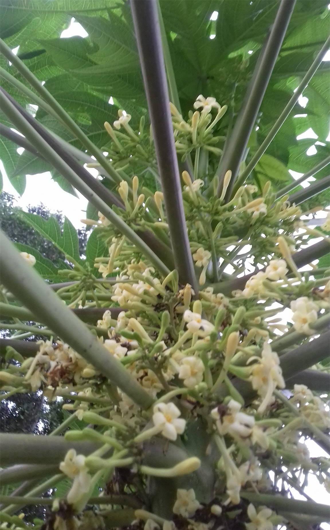 Hoa đu đủ đực: Loại hoa trước đây vứt đi nay được gom bán tiền triệu/kg - Ảnh 1.
