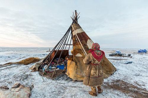 Nenets, bộ lạc sống du mục hàng ngàn năm cạnh tuần lộc và những chú chó ở Bắc Cực