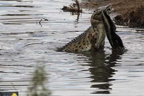 Gặp cá sấu, 'kẻ bố đời' tan xác