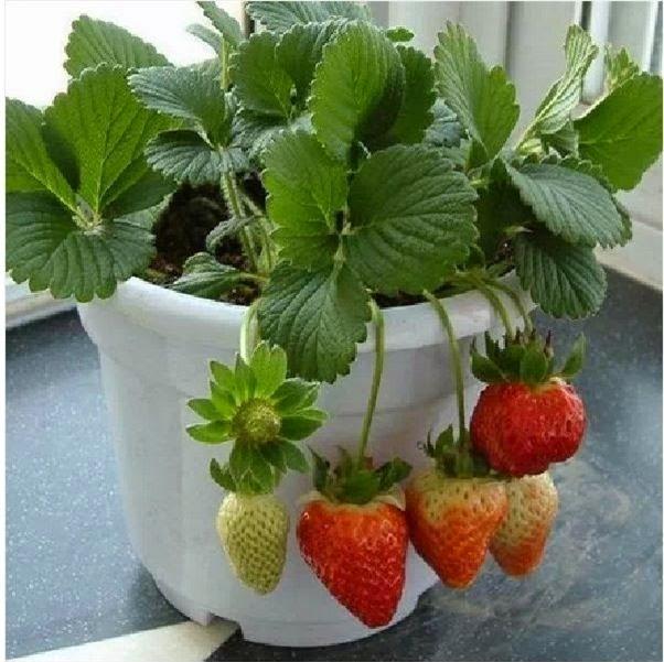 Kỹ thuật trồng cây dâu tây tại nhà hiện nay khá phổ biến. Ảnh minh họa