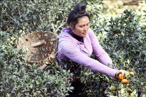 Chị Lò Thị Lan thu hoạch cam đường canh tại gia đình.
