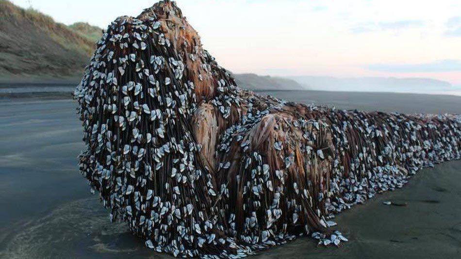 """Hình ảnh """"quái vật"""" dạt vào bờ biển New Zealand gây xôn xao"""