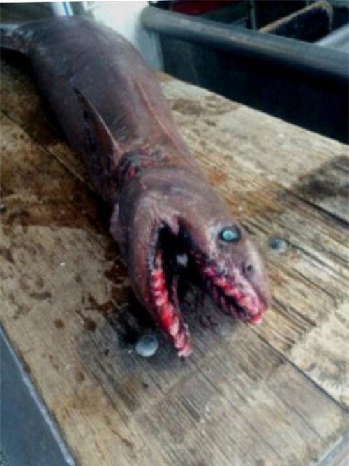 Bắt được cá mập thời tiền sử cực hiếm