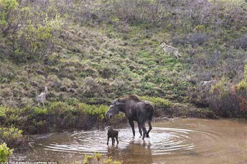 Nai mẹ một mình chống lại bầy sói, bảo vệ con - 2