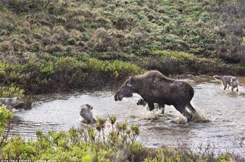 Nai mẹ một mình chống lại bầy sói, bảo vệ con - 3
