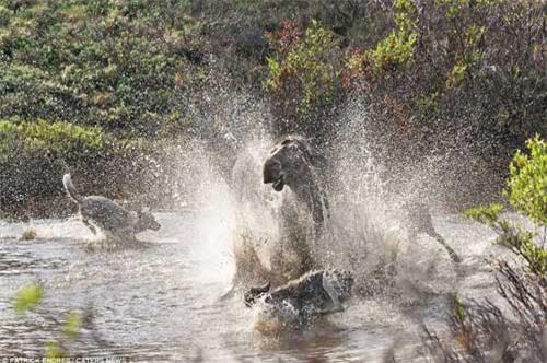 Nai mẹ một mình chống lại bầy sói, bảo vệ con - 4