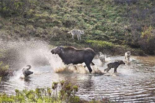 Nai mẹ một mình chống lại bầy sói, bảo vệ con - 5