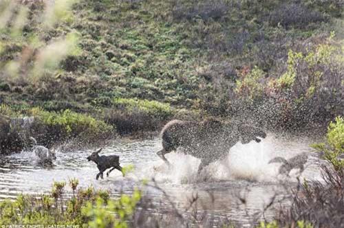 Nai mẹ một mình chống lại bầy sói, bảo vệ con - 6