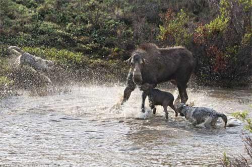 Nai mẹ một mình chống lại bầy sói, bảo vệ con - 7