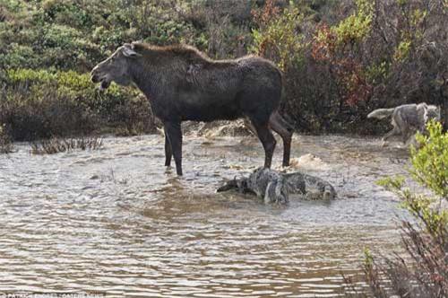 Nai mẹ một mình chống lại bầy sói, bảo vệ con - 9