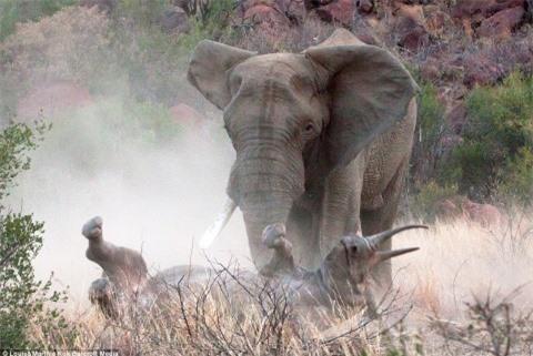Voi đực một ngà điên cuồng tấn công tê giác
