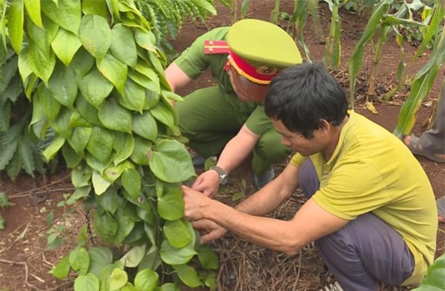 Nghi án người đàn ông đào, chặt cây của dân… mang về rẫy mình trồng - 1