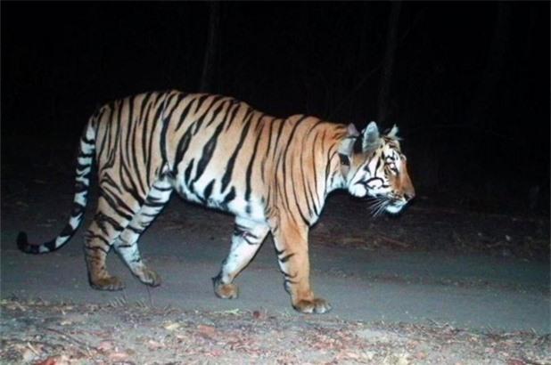 Hổ Ấn Độ vượt hành trình dài kỷ lục hàng nghìn km để tìm bạn tình