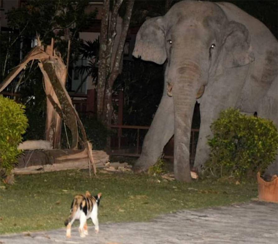 Ngược đời chuyện mèo đuổi voi giữa đời thực
