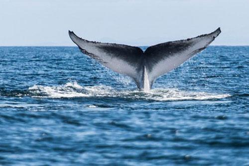 Cá voi xanh - động vật mạnh nhất trong các động vật