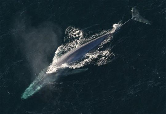 Lộ diện loài cá voi mạnh nhất thế giới - ảnh 1