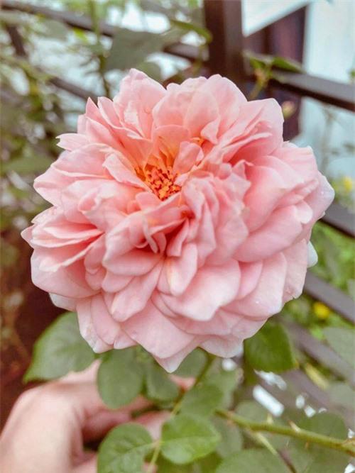 Elly Trần từng mô tả các bông hoa của vườn nhà nở to bằng cái chén. Đây là loài hoa khó chăm bậc nhất trong số các loài hoa vì dễ sâu bệnh, bị trĩ, rệp... Về cách chăm hồng, bạn phải bón phân thường xuyên theo định kỳ, phun phòng bệnh thường xuyên kể cả khi cây không bệnh, cần trị bệnh dứt điểm để tránh lây sang cây khỏe. Người chăm hoa hồng cũng cần cắt tỉa định kỳ, tạo dáng để cây phát triển tốt.
