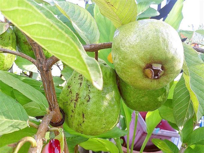 Ngoài việc chăm sóc hoa hồng, Elly còn trồng cây ổi ăn trái. Cô luôn lưu giữ hình ảnh các trái tới kỳ thu hoạch, lúc lỉu trên cành.