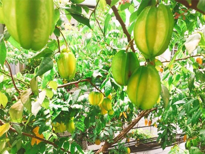 Khế cũng là cây ăn trái dễ chăm sóc, cho ra trái sai quả. Kinh nghiệm của người trồng khế lâu năm là nên thay mới 1/3 đất trong chậu bằng đất mới để có đủ chất dinh dưỡng cho cây.