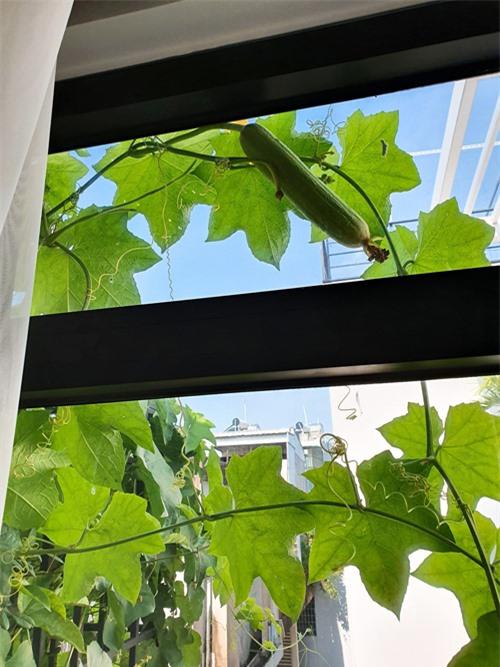 Cây mướp mọc tràn cả ô cửa sổ nhà Elly Trần. Đây là một loại cây dây leo dễ trồng, tốn ít công chăm sóc và tốn ít đất để phát triển.