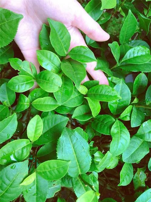 Cây trà do Elly trồng. Những lá trà non sẽ được Elly sử dụng để làm trà uống, giúp chống oxy hóa, làm đẹp da.