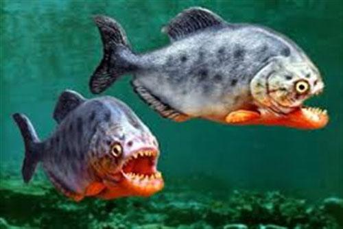 CLIP: Chiến thuật săn mồi 'có một không hai' của cá hổ Piranha