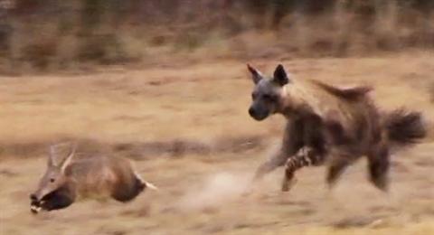 Linh cẩu nâu và lợn đất có cuộc chạm trán trên đồng cỏ.