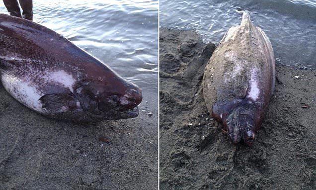 Bí ẩn về vụ trôi dạt xác cá lạ vào bờ biển Mỹ
