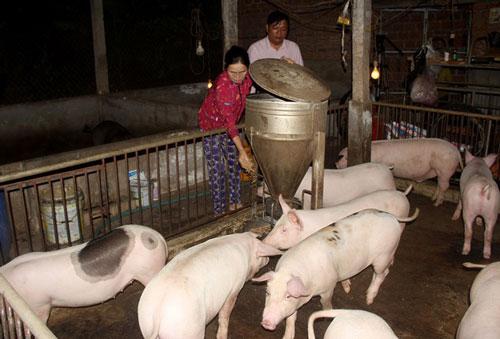 'Vựa heo' lớn nhất miền Trung gượng dậy sau dịch tả lợn châu Phi