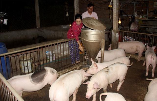 Vựa heo lớn nhất miền Trung gượng dậy sau dịch tả lợn châu Phi - 1